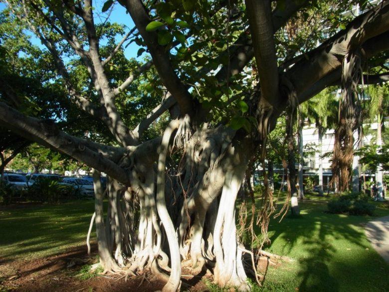 ハワイのバニヤン(ガジュマル)