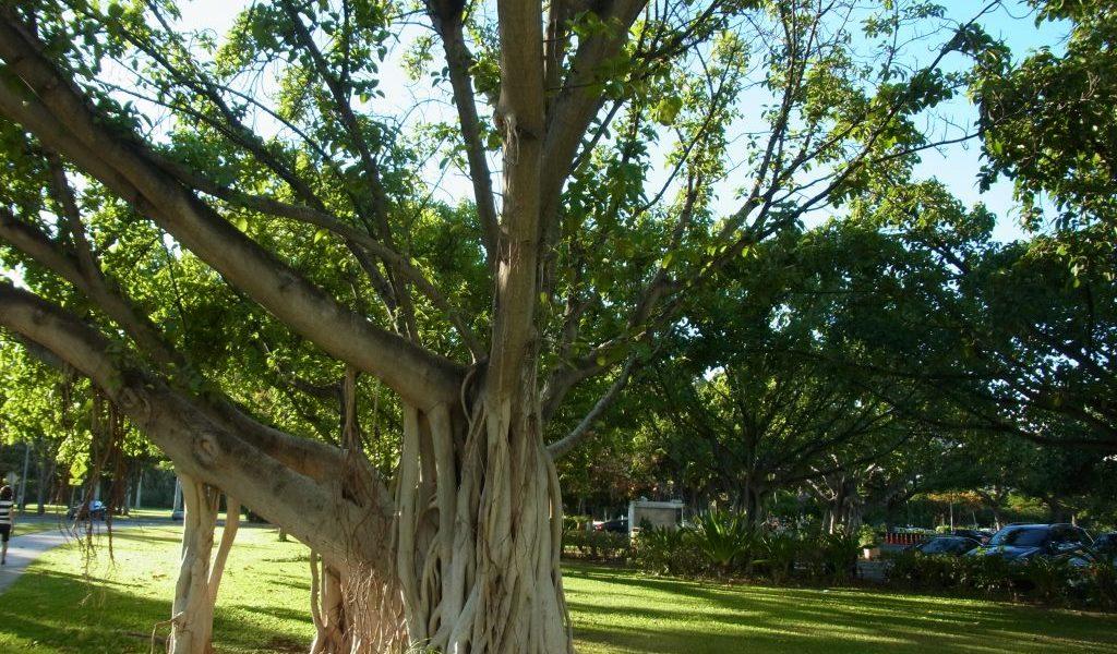 ハワイガジュマルの木