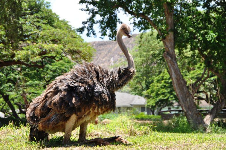 ホノルル動物園オーストリッチ